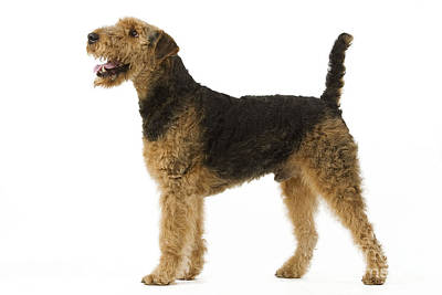 Airedale Terrier Dog Poster by Jean-Michel Labat
