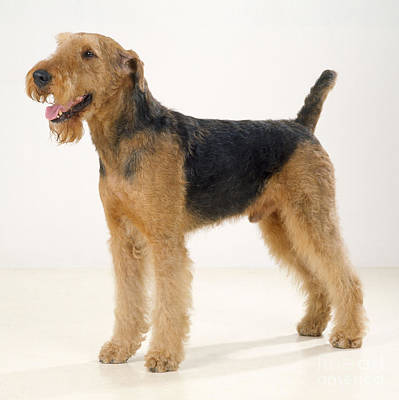 Airedale Terrier Dog Poster by John Daniels
