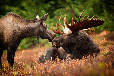 Alaskan Bull Moose And Cow Poster by Mountain Dreams