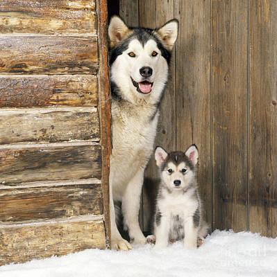 Alaskan Malamute With Puppy Poster by John Daniels