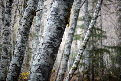 Alder Forest Leaning Poster by Mike Reid