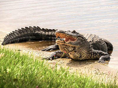 Alligator Poster by Zina Stromberg