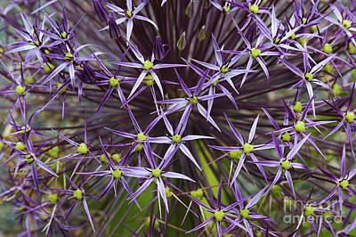 Allium Christophii Flower Pattern Poster by Tim Gainey