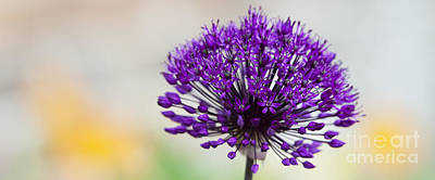 Allium Hollandicum Purple Sensation Panoramic Poster by Tim Gainey