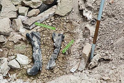 Allosaurus Dinosaur Leg Bone Fossils Poster by Jim West