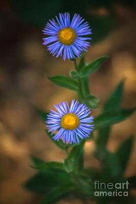 Alpine Aster Poster by Robert Bales