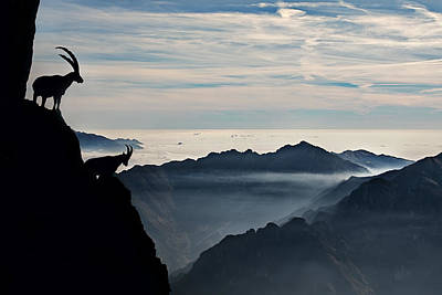 Alpine Ibex Poster by Francesco Vaninetti