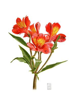Alstroemeria Poster by Richard Harpum