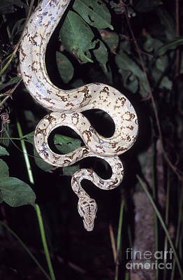 Amazon Tree Boa Poster by James Brunker