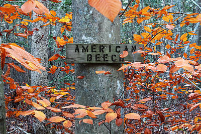 American Beech Poster by Andrew Pacheco