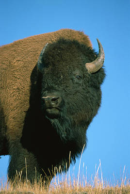 American Bison Bull Poster by Ingo Arndt