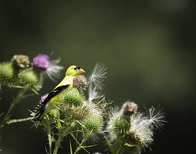 American Goldfinch On Thistle Poster by Thomas Young