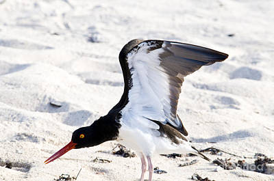 American Oystercatcher Poster by William H. Mullins