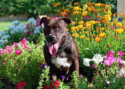 American Pit Bull In Flowers (mr Poster by Zandria Muench Beraldo