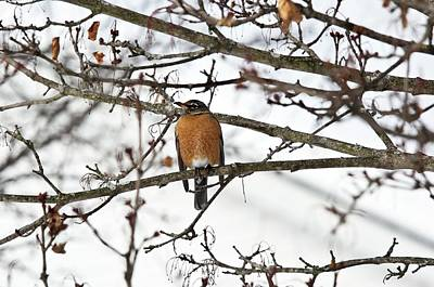 American Robin In A Tree Poster by Bob Gibbons