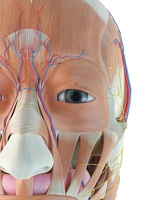 Anatomy Of Human Face Poster by Sciepro