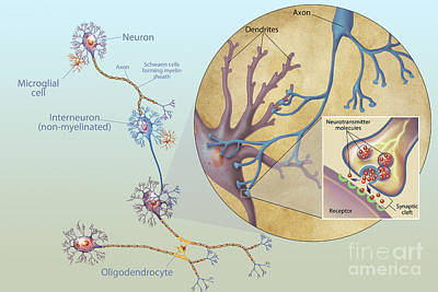 Anatomy Of Neurons Poster by Carlyn Iverson