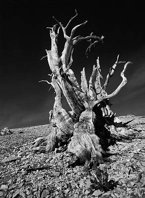 Ancient Bristlecone Pine Tree Clings Poster by Jerry Ginsberg