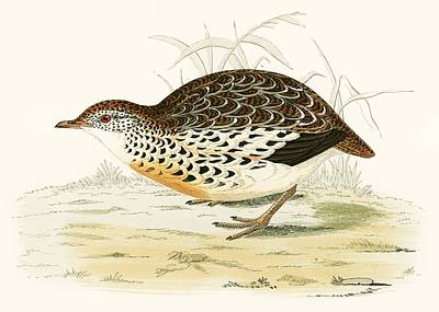 Andalusian Quail Poster by Beverley R Morris