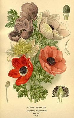 Anenomes Poster by Philip Ralley