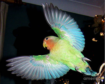 Peach-faced Lovebird Poster featuring the photograph Angel Pickle by Terri Waters