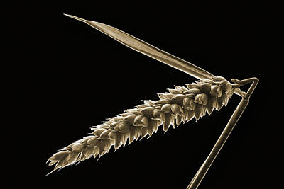 Angled Wheat Poster by Terence Davis