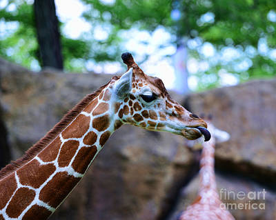 Animal - Giraffe - Sticking Out The Tounge Poster by Paul Ward
