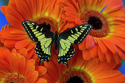 Anise Swallowtail Butterfly, Papilio Poster by Darrell Gulin