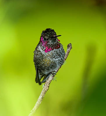 Anna's Hummingbird 2014 Poster by Lara Ellis