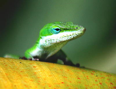 Anole Poster by Ange Sylvestri