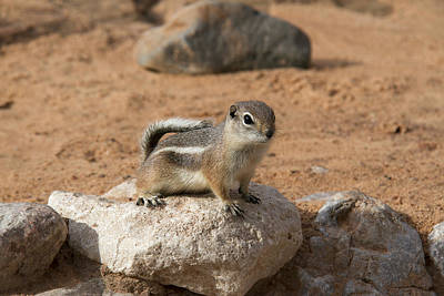 Antelope Ground Squirrel Poster by Debby Richards