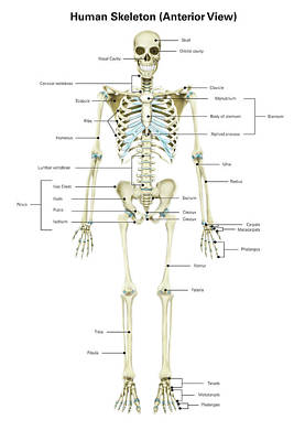 Anterior View Of Human Skeletal System Poster by Alan Gesek
