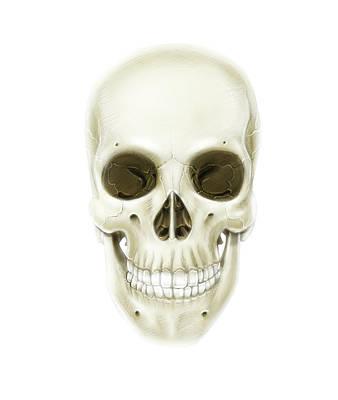 Anterior View Of Human Skull Poster by Alan Gesek