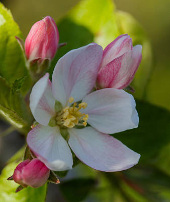 Apple Blossom Poster by Angie Vogel