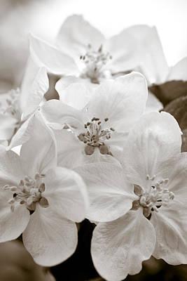 Apple Blossoms Poster by Frank Tschakert
