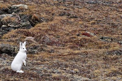 Arctic Hare (lepus Articus Poster by Daisy Gilardini