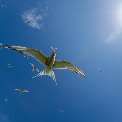 Arctic Terns Sterna Paradisaea, Flatey Poster by Panoramic Images