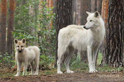 Arctic Wolf With Pup, Canis Lupus Albus Poster by Stefan Meyers