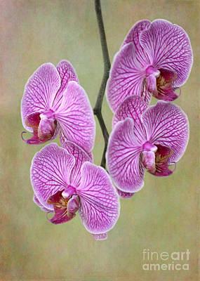 Artsy Phalaenopsis Orchids Poster by Sabrina L Ryan
