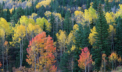 Aspen And Evergreen Trees In A Forest Poster by Panoramic Images