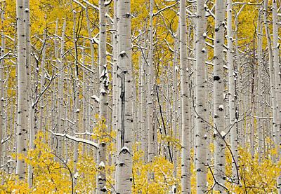 Aspen Forest In Autumn Poster by Leland D Howard