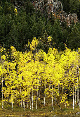 Aspen Leaves Turning Near The Colorado Poster by Maresa Pryor