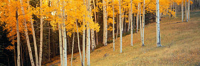 Aspen Trees In A Field, Ouray County Poster by Panoramic Images
