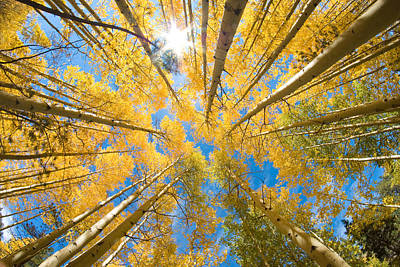 Aspen Trees Looking Up Poster by John Hoffman