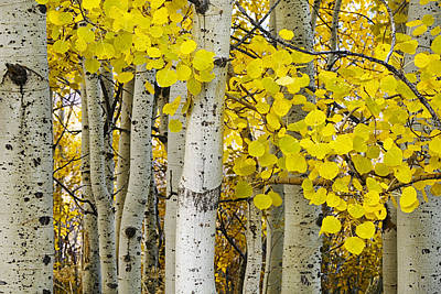 Aspens At Autumn Poster by Andrew Soundarajan