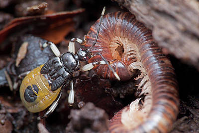 Assassin Bug Eating Millipede Poster by Melvyn Yeo