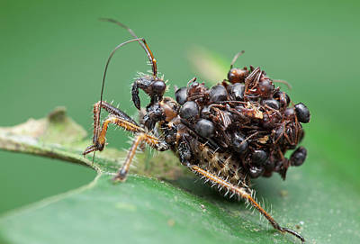 Assassin Bug Nymph With Ants Poster by Melvyn Yeo