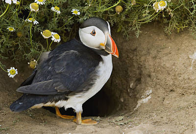 Atlantic Puffin At Burrow Skomer Island Poster by Sebastian Kennerknecht