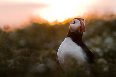 Atlantic Puffin At Sunrise Skomer Poster by Sebastian Kennerknecht