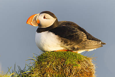 Atlantic Puffin Iceland Poster by Peer von Wahl
